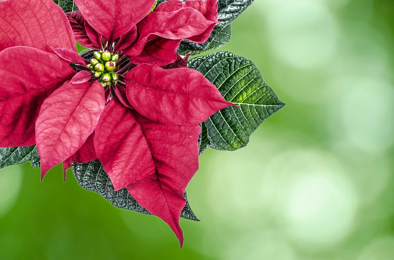 The Miracle Gift Of The First Christmas Poinsettia